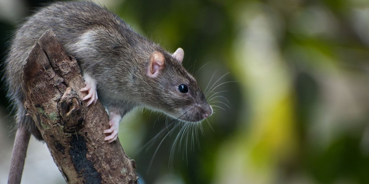 Daily Chinese Horoscope for Rat   Free chinese Horoscope for Today