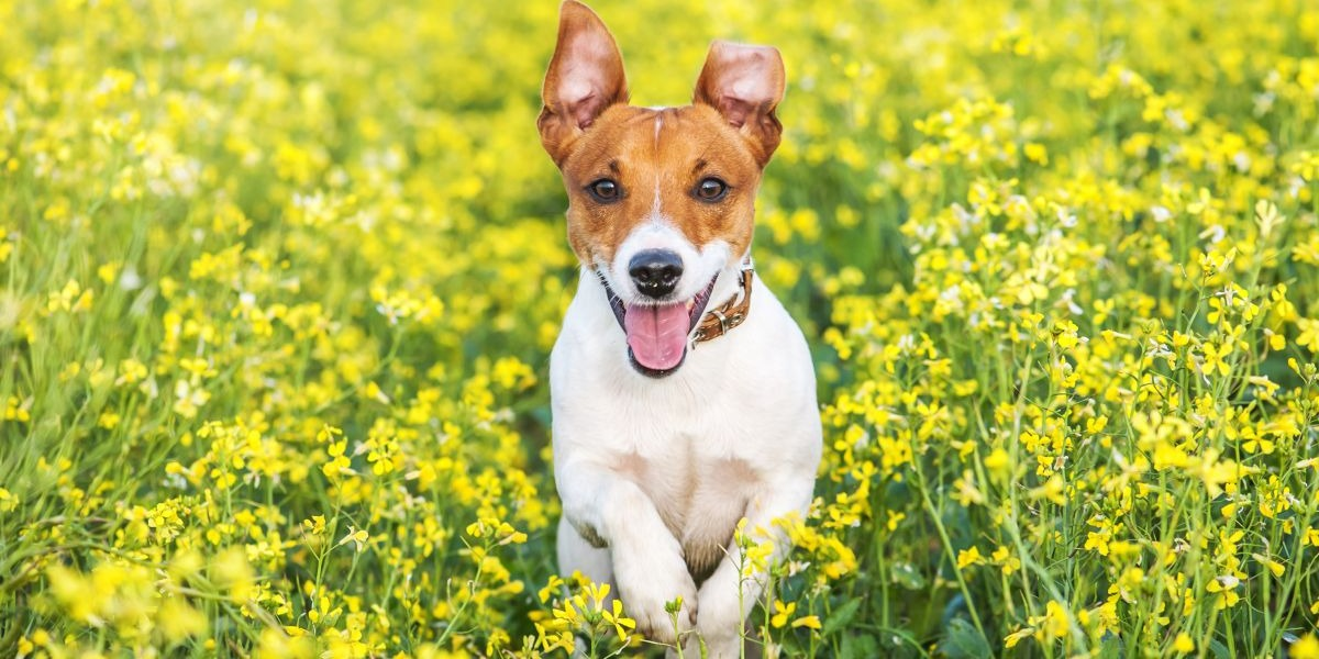 Dog: Characteristics of the Chinese Zodiac Sign in Astrology