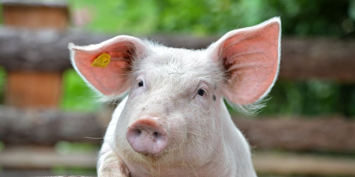 Pig: Characteristics of the Chinese Zodiac Sign in Astrology